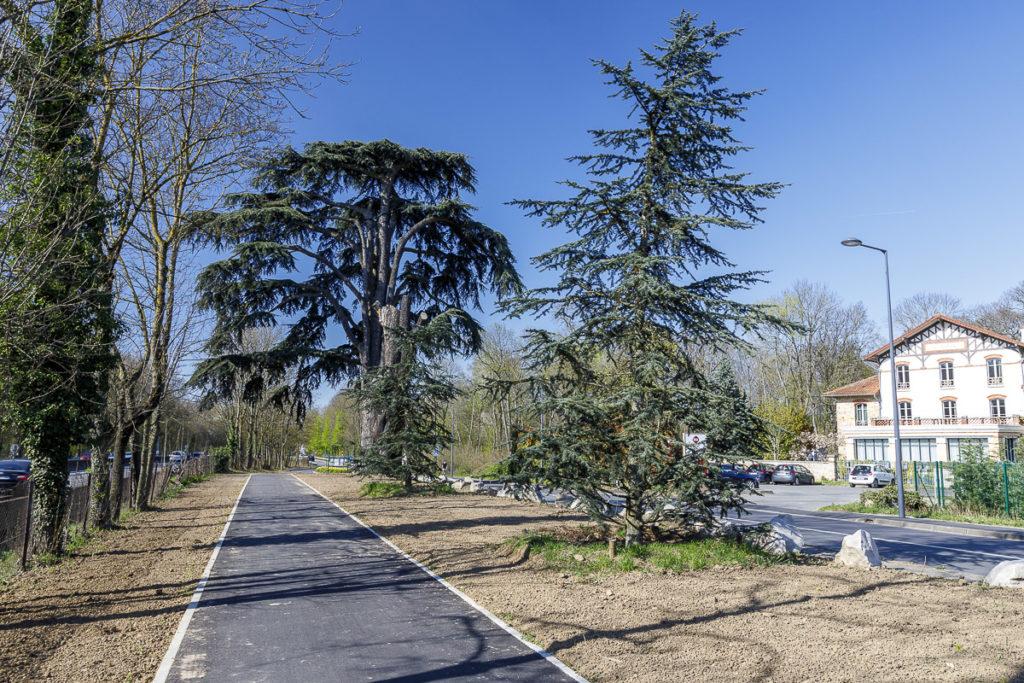 Cèdre du Liban près de la route du Colonel Moraine à Meudon-la-Forêt.